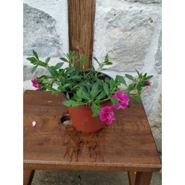 Calibracoas doble rosa
