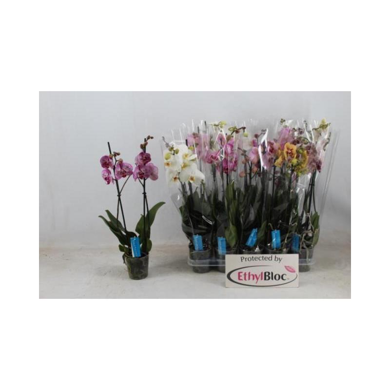 Orquídea phalaepnosis