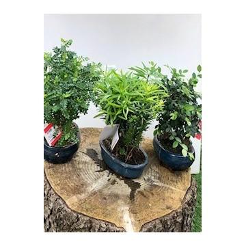 Bonsai alto 60 cm