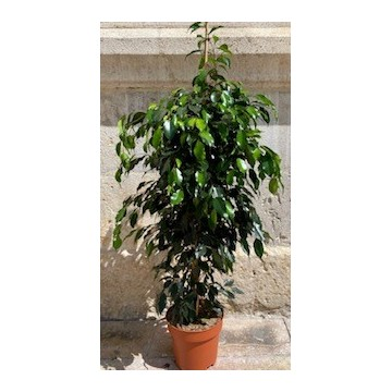 Ficus benjamina 150 cm