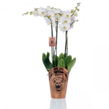 Orquidea elegante alto 70 cm
