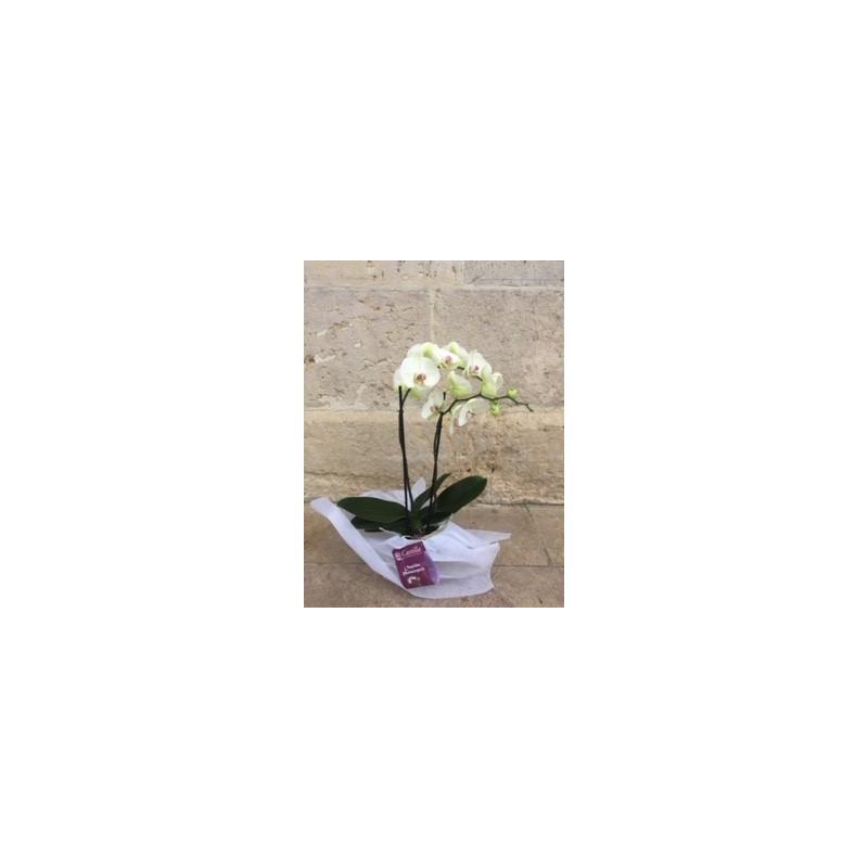 Orquidea 2 varas
